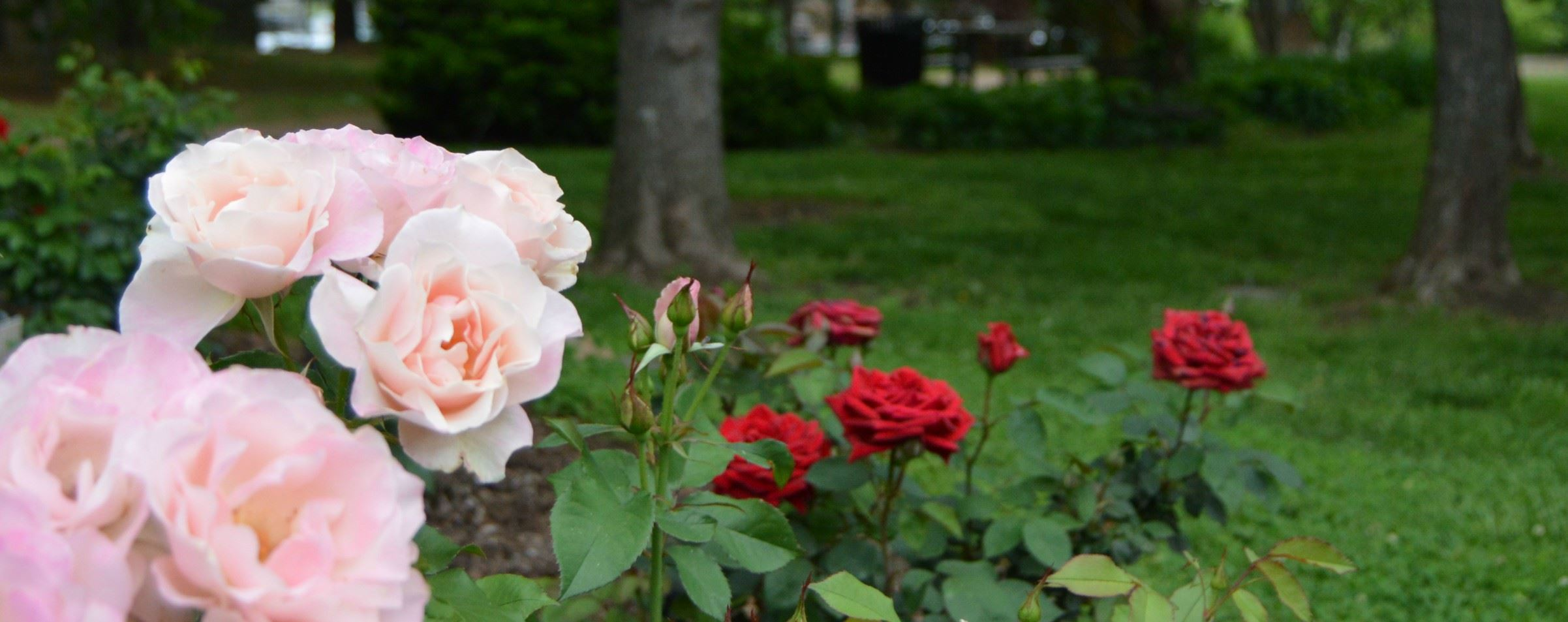 Dogwood Park Rose Bushes
